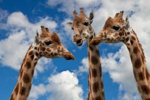 giraffes and wild animals communicate too