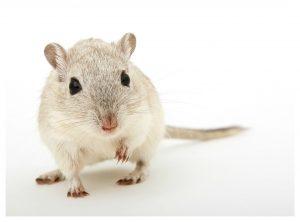 brave little mouse