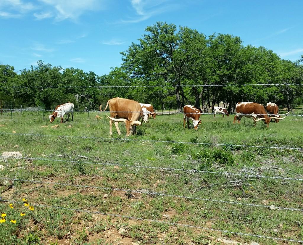 Longhorn-cattle