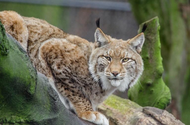 bobcat cat whisperer