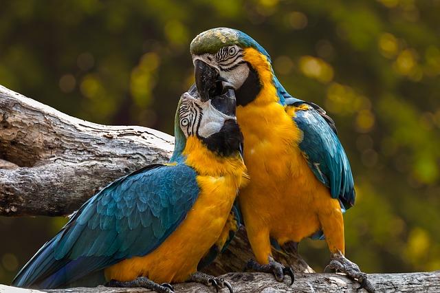 parrots-3427188_640